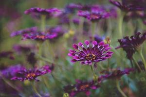 närbild av lila afrikanska daises foto