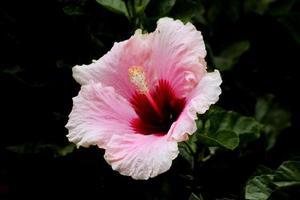 närbild av rosa blomma foto
