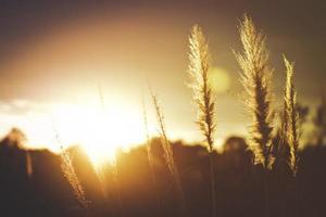 närbild av vildt gräs på gyllene timmar foto