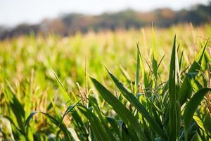 gröna vete fält under dagen foto
