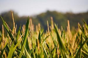 grönt vete fält på dagen foto
