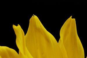 gul blomma på svart bakgrund foto