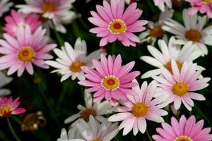 rosa och vita blommor i en trädgård foto