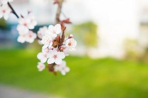 närbild av körsbärsblommor foto
