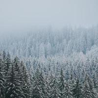 gröna tallar täckta med snö