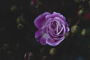 närbild av lila ros foto