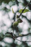grönt äpple växer på gren foto