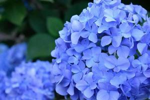 närbild av blå hortensior