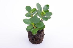 grön plant. isolerad på vitt. foto