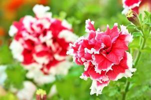petunia blommor i trädgården foto