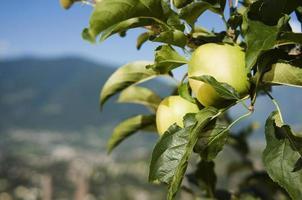 två äpplen på trädet foto