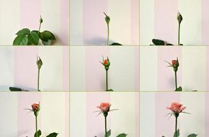 rosa ros. från knopp till en blomma. foto