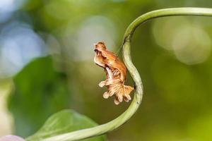 chrysalis av vanlig rosfjäril foto
