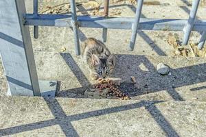 grändkatt äter torr mat foto