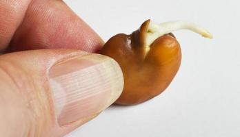växande bönor. foto
