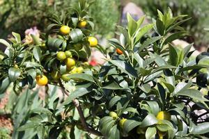 kumquatträd med frukt och blad i trädgården foto