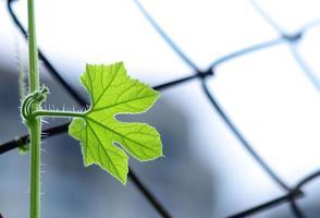 vinblad som växer upp ensam - inspirerande