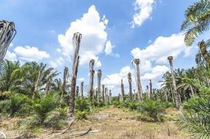 olja palmträd