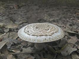 amanita rubescens var alba, basidiomycetes foto