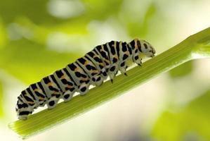 monarch larv som äter mjölkväv foto