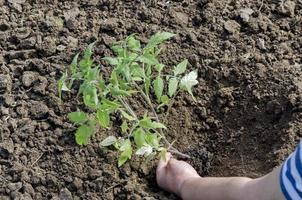 händer som håller plantor och sätter i hålet foto