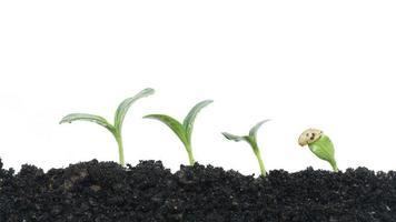 växande växt