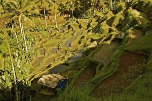 risfältterrass Bali Indonesien Asien. jordbruk odling. tropiskt klimat. foto