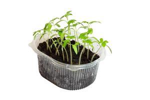 plantor av tomater i lådan.