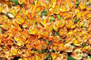 orange alstromerier foto