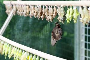 växande fjäril foto