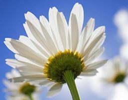 vit tusensköna i solen. foto