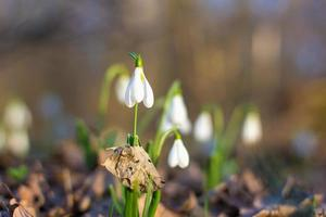 våren av de första snödropparna foto