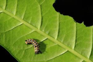 söt larv