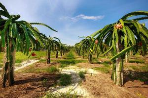 fruktträdgård med många drakefrukter foto