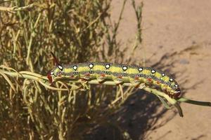 larv i sahara foto