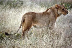 lejon i det gyllene gräset i etosha national park namibia foto
