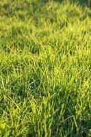 färskt grönt gräs på en gräsmatta foto