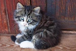 långhårig kattunge på trägolvet mot träväggen foto
