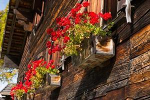 forntida trähus med röda pelargonblomningar foto
