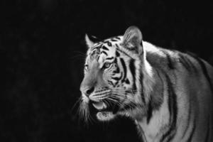 porträtt av amur tigrar foto