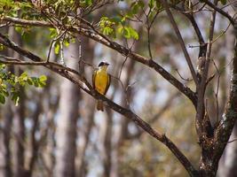 gul fågel foto