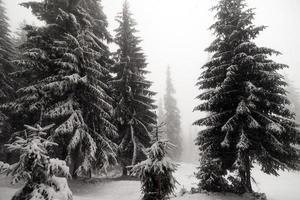 granträd dimmig skog täckt av snö i vinterlandskap.
