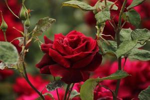 rosa parfum de nuit - rose foto
