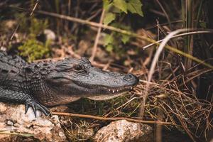 närbild av krokodil foto
