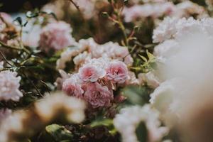närbild av rosa rosor