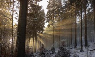 solljus genom snöig skog foto