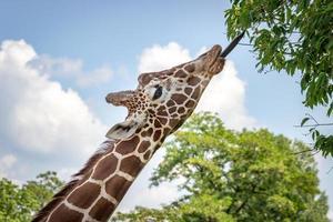 giraff som äter blad från trädet foto