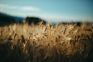 stjälkar i ett vetefält med blå himmel foto