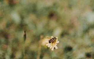 bi på gul blomma foto
