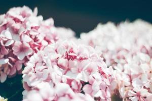 närbild pf rosa och vita hortensia blommor foto
